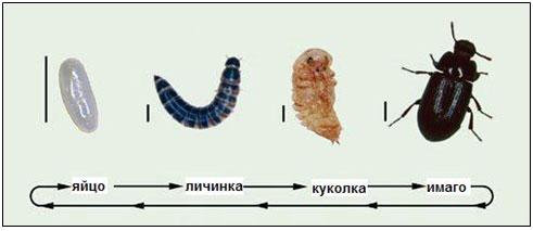 Цикл жизни большого мучного хрущака (1 деление = 1 мм)